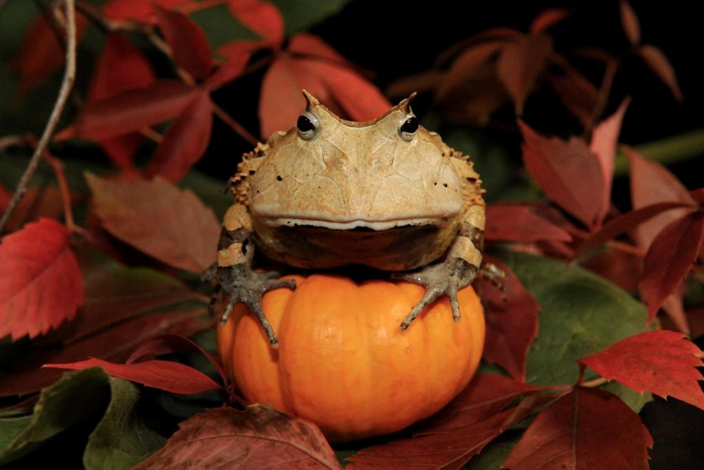 Julie Larsen Maher_0183_Surinam Horned Frog